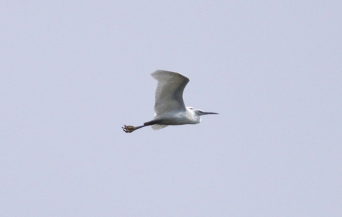 Little Egret over Mere View