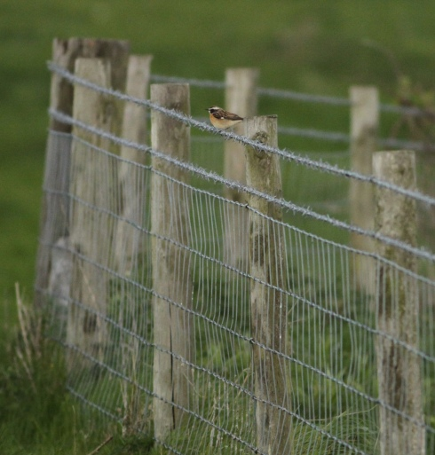 male Whinchat 1st field