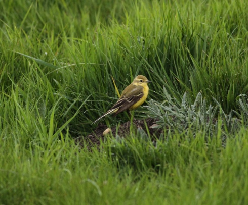 Yellow Wagtail 1st field