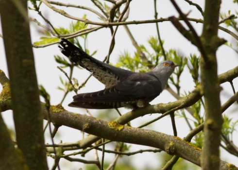 male Cuckoo 2nd field