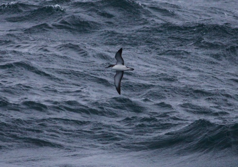 Manx Shearwater from the CalMac Ferry