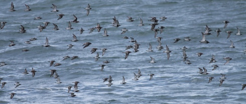 Waders - mainly Sanderling, Dunlin, Ringed Plover and Turnstone