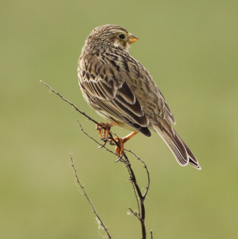 Corn Bunting on the Machair at Balranald