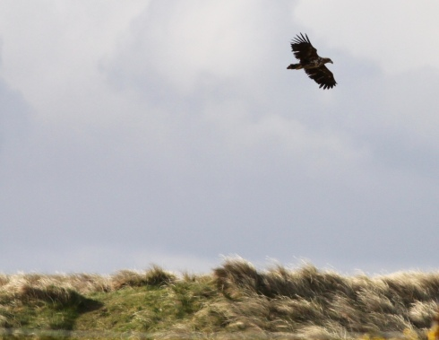imm White-tailed Eagle, on Benbecula