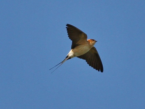 Red-rumped Swallow - Rich Willison