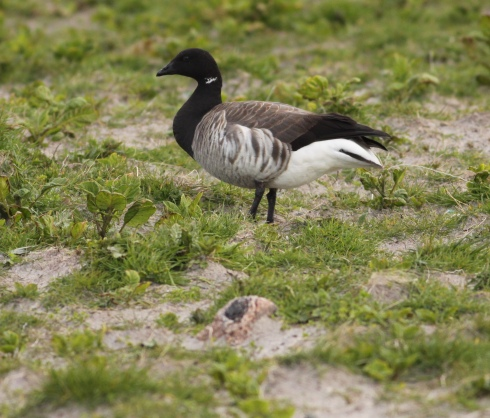 pale-bellied Brent Goose near Ardvule
