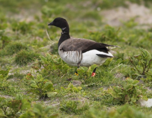 colour-ringed Brent Goose at Ardvule