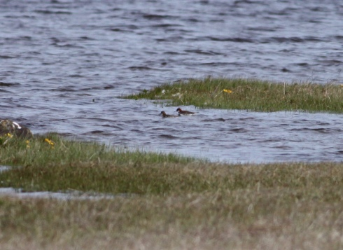 pair Red-necked Phalarope at Loch Mor