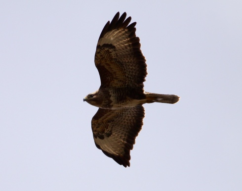 Common Buzzard from the car sunroof!