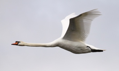 Mute Swan over Decoy