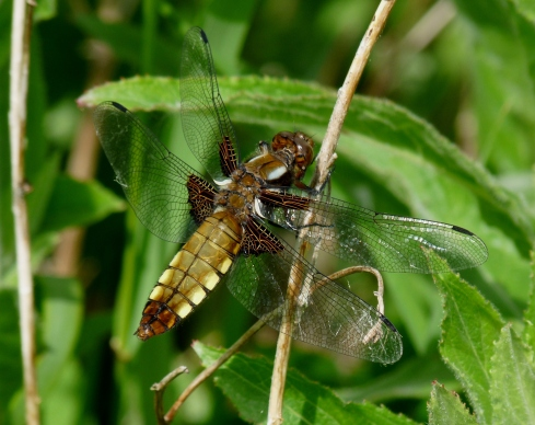 female Broad-bodied Chaser - Ade Johnson