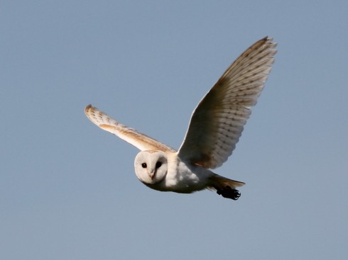 Barn Owl - Jeff Cox