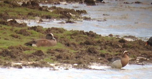 American Wigeon and the drk Garganey