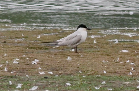 Gull-billed Tern - Dicky Ticker
