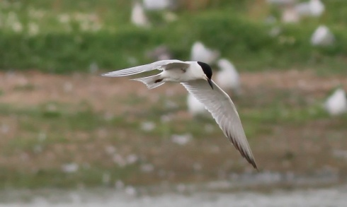 Gull-billed Tern - Rich Willison