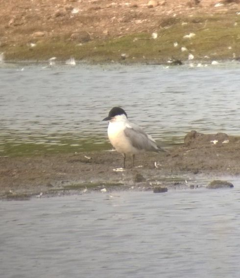 Gull-billed Tern - Tim Isherwood
