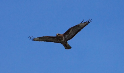 Common Buzzard from Wassand hide