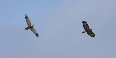 Marsh Harrier and Common Buzzard over Decoy