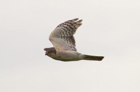 male Sparrowhawk over 2nd field