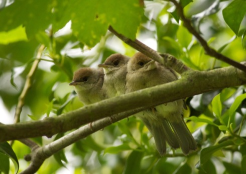recently fledged Blackcaps