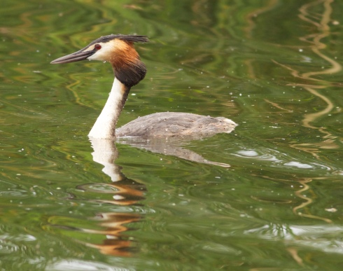 Great-crested Grebe from Wassand hide