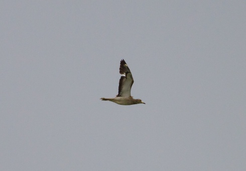 Stone Curlew in flight around Ouzel hedge around 11am