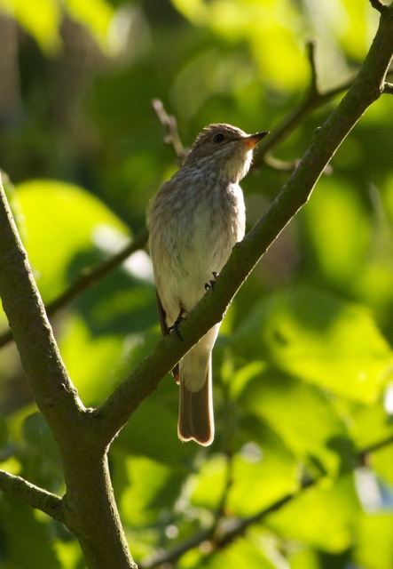 Spotted Flycatcher in Wassand