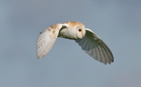 Barn Owl at Ganstead  - Rich Willison