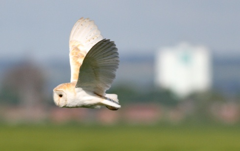 East Hull Barn Owl with a Longhill Estate backdrop - Rich Willison