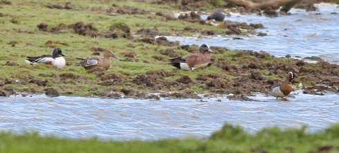 Shoveler, Am Wigeon, Moorhen, Garganey at Bewholme