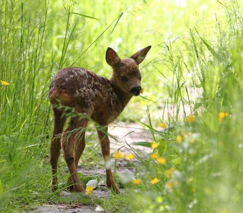 Roe Deer fawn Wassand Walk - Jeff Cox