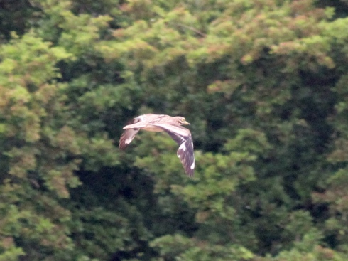 initial sighting of Stone Curlew - Jeff Cox