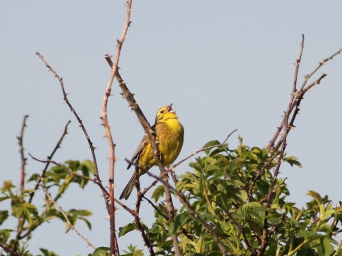 Yellowhammer - Jeff Cox