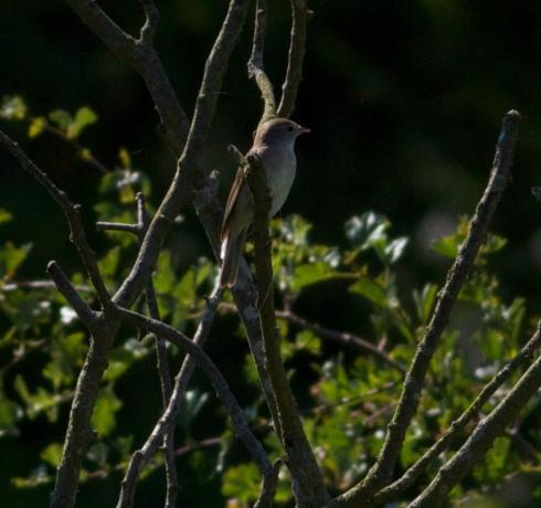 Garden Warbler near Weatherhill