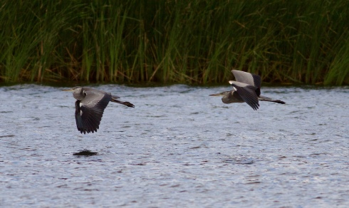 Grey Herons through Decoy