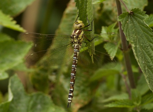 Southern Hawker in Wassand