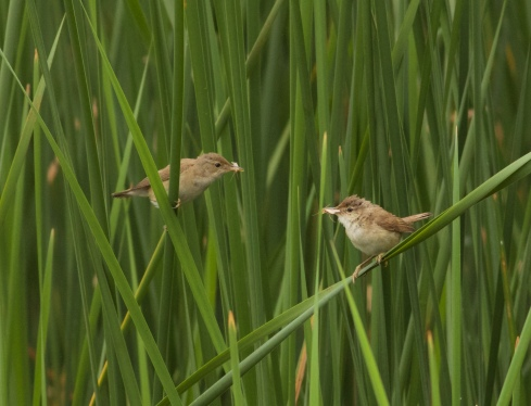 Reed Warblers from Wassand Hide
