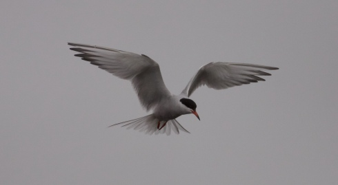 Common Tern in the gloom from KP