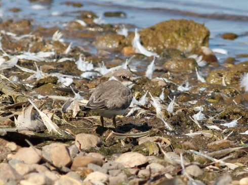 juv Little Ringed Plover on KP - Jeff Cox
