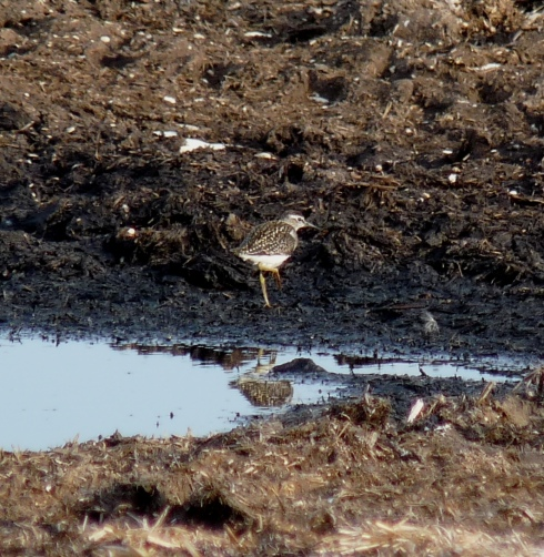 Wood Sandpiper - Ade Johnson