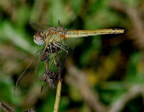 female Red-veined Darter - Ade Johnson