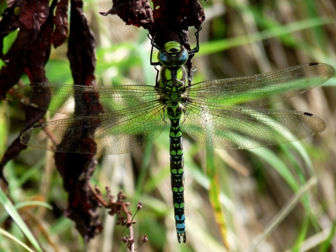 Southern Hawker - Ade Johnson