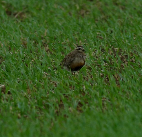 Dotterel at West Carlton - Ade Johnson