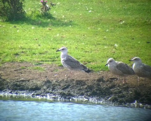 juv Caspian Gull at Bewholme - Garry Taylor