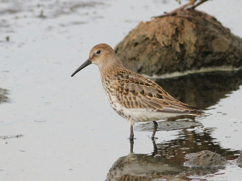 Dunlin on KP - Jeff Cox