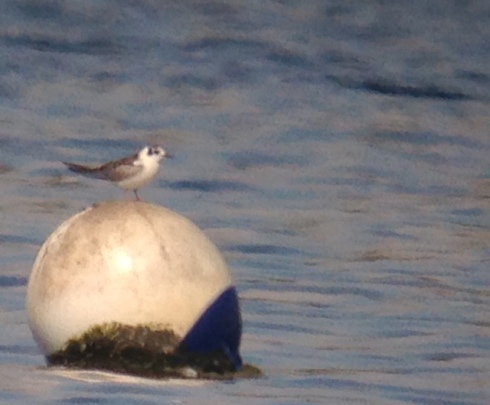 distant phonescoped juv WWB Tern off 2nd field