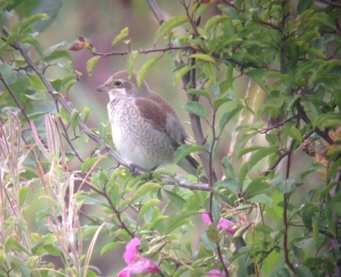 phonescoped Red-backed Shrike