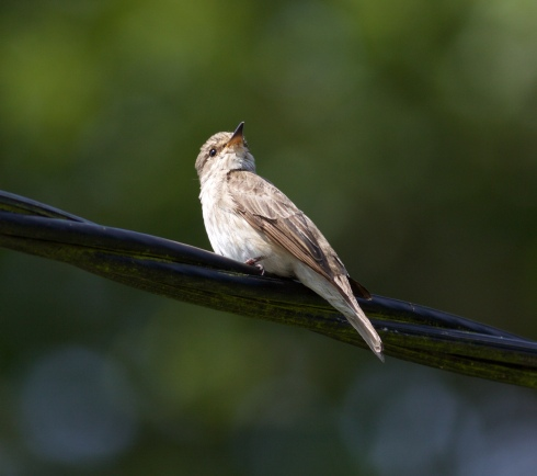 Spotted Flycatcher Wassand