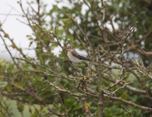 Pied Flycatcher at Cowden