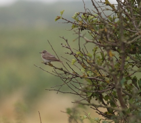 Spotted Flycatcher at Cowden